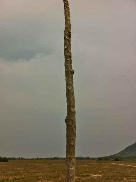 cucumber tree