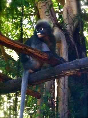 langur monkey@my villa