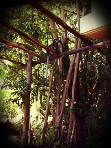 langur monkeys@my villa