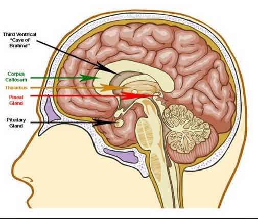 3rd eye anatomy.jpg